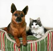 stock photo of mexican-dog  - a dog and a kitten in a pet bed - JPG