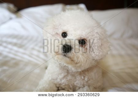 poster of Bichon Frise Dog. Purebred Bichon Frise Dog. A sweet white puppy dog on a white bed sheet. Bichons a
