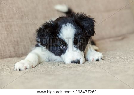poster of Funny Portrait Of Cute Smilling Puppy Dog Border Collie On Couch. New Lovely Member Of Family Little