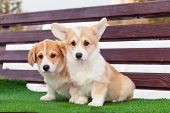 Cute Red Welsh Corgi Pembroke Puppies On The Grass, Walk Outdoor, Having Fun In White Snow Park, Win poster
