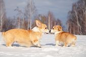 Many Cute Red Breed Welsh Corgi Pembroke Puppy Family Walk Outdoor, Run, Having Fun In White Snow Pa poster