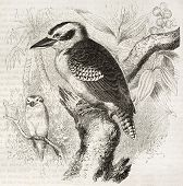 picture of kookaburra  - Laughing Kookaburra old illustration  - JPG