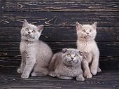 Scottish Straight And Scottish Fold Kittens. Professional Photography Purebred Kittens poster