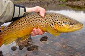 picture of brook trout  - Releasing a Brown Trout caught on the White River of Arkansas - JPG