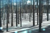 Cold Forest In Winter. Pure Pine Forest In Sunny Weather. Frosty Air And Pure White Snow. Winter Fai poster