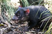 Closeup Portrait Of The Angry Tasmanian Devil Sarcophilus Harrisii Withan Open Mouth And Canines poster