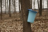 Maple Tapping - Tapping Maple Trees For Their Sap In The Spring Which Will Be Converted To Maple Syr poster