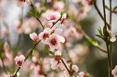 Peach Blossoms Turn Nature To White #2 poster