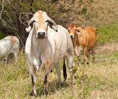 foto of brahma-bull  - Australian cattle herd with cows steers bullock and bull brahman Zebu on ranch - JPG