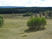 picture of cariboo  - A lone steer in the middle of a wide grassy meadow surrounded by birch and pine trees - JPG