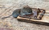 foto of dead mouse  - A dead mouse caught in a mousetrap - JPG