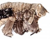 pic of licking  - mother cat feeding baby kittens and licking them - JPG