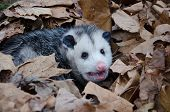 image of opossum  - A large Virginai opossum bedded down in leaves and showing its teeth - JPG
