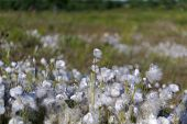 foto of sakhalin  - shaggy white cotton grass in the swamp. ** Note: Shallow depth of field - JPG