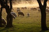 foto of mustering  - Sheep - JPG