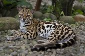 stock photo of ocelot  - Marguay  - JPG