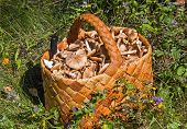 Birchbark Basket Full Of Mushrooms On The Grass In The Forest