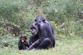 foto of chimp  - Chimp family play together in zoo habitat - JPG
