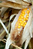 stock photo of corn-silk  - Fresh raw corn cob - JPG