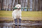 stock photo of boot  - golden retriever dog in rain boots and with an umbrella - JPG
