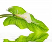 foto of arum lily  - White Calla lilies with leaf isolated on a white background - JPG
