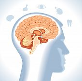 stock photo of internal organs  - Hypothalamus - JPG