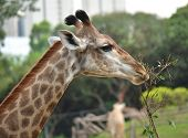 foto of dromedaries  - Giraffes eating leaves - JPG