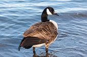 stock photo of canada goose  - Single Canada goose with ruffled feathers standing in shallow water - JPG