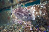 picture of gulf mexico  - A Grey Triggerfish swims along the Dupont Bridge Span One artificial reef at 95 - JPG