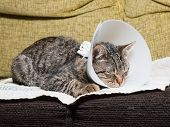 stock photo of castrated  - Sleeping cat with an Elizabethan collar inside home