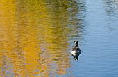 pic of canada goose  - Canada Goose on an Autumn Golden Pond - JPG