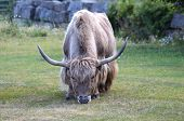 foto of yaks  - A big hungry yak is finding food - JPG