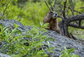 stock photo of marmot  - brown marmot looking towards the camera at Rocky mountain national park colorado