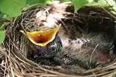 Постер, плакат: Baby Робин в гнездо птицы с открытым ртом