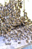 pic of swarm  - A swarm  of bees at the entrance of beehive in apiary in the summertime - JPG