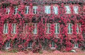 stock photo of polonia  - building wall covered with red ivy in Gdansk Poland - JPG