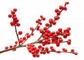 foto of winterberry  - Ilex verticillata winterberry branches isolated on white background - JPG