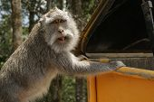 picture of dumpster  - Monkey searching through the dumpsters is wondering what we are doing here - JPG