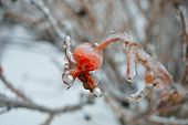 image of freezing  - A Photograph of ice dripping off of a berry hanging on a tree after a freezing rain storm - JPG