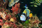 stock photo of angelfish  - Emperor Angelfish - JPG