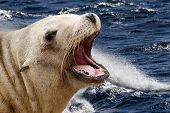 picture of sea lion  - a close up of a sea lion on the sea  - JPG