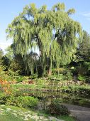 stock photo of weeping willow tree  - Photograph of weeping willow tree in summer - JPG