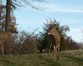 stock photo of deer rack  - Large white - JPG