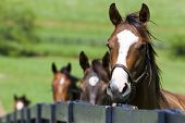 stock photo of horse face  - A horse ranch in Kentucky USA with horses standing along a fence - JPG