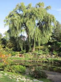 picture of weeping  - Photograph of weeping willow tree in summer - JPG