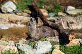 stock photo of blue ridge mountains  - River Otters playfully having fun in their enclosure at Grandfather Mountain in the Blue Ridge Mountains of North Carolina - JPG