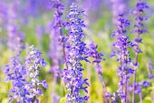 image of salvia  - Blue Salvia farinacea flowers blooming in the garden - JPG