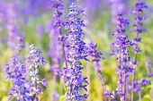 stock photo of salvia  - Blue Salvia farinacea flowers blooming in the garden - JPG