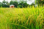 image of rice  - rice fields or rice paddies stalks of rice - JPG