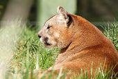 image of mountain lion  - beautiful mountain lion portrait at the zoo  - JPG